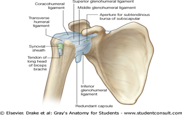 Coracohumeral Ligament Related Keywords & Suggestions ...