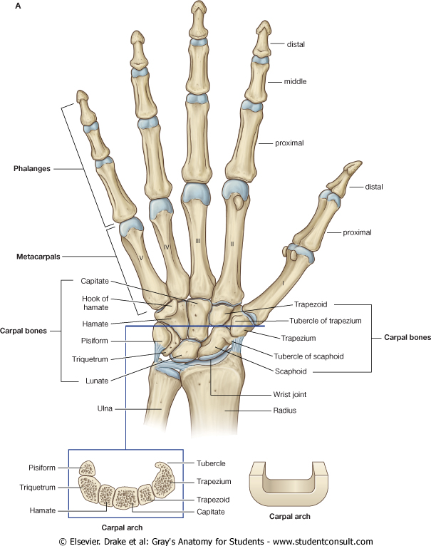 Anatomy Mcqs Review Of Critical Care Medicine