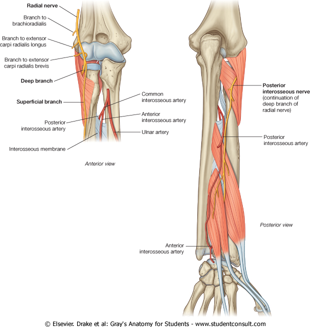 Famous Anterior Interosseous Nerve Anatomy Ensign Anatomy And
