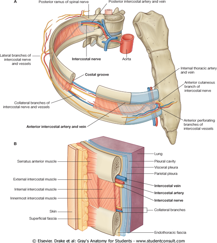 Anatomy Thorax « Review of Critical Care Medicine