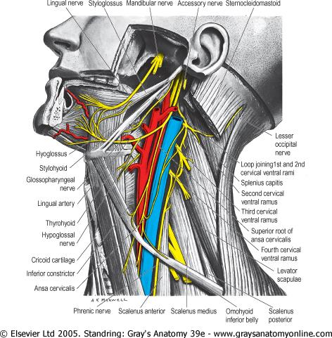 External Jugular Vein Catheterization « Review of Critical ...