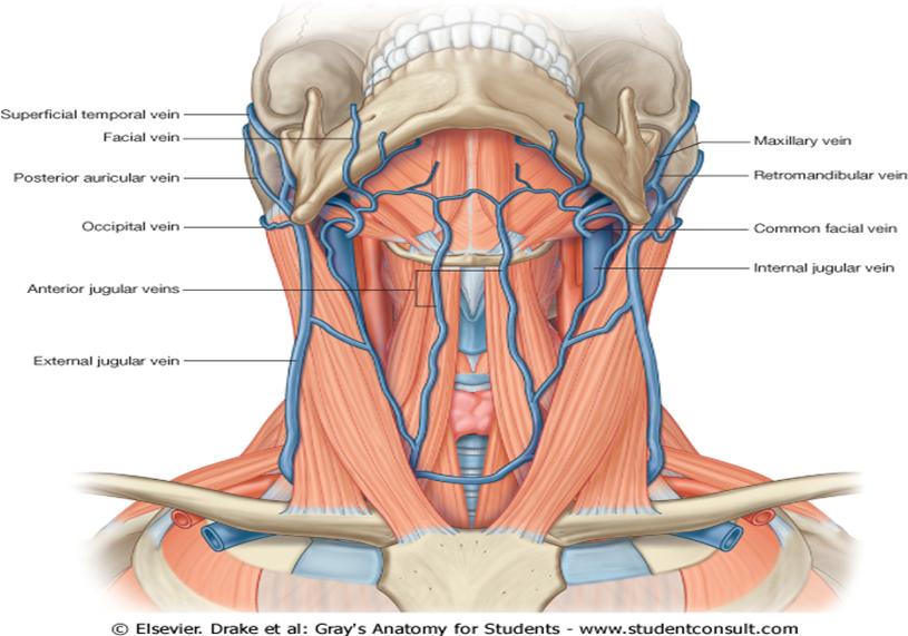 Internal jugular vein cannulation anatomy